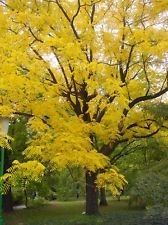 Black Walnut (Juglans Nigra) tree specimen