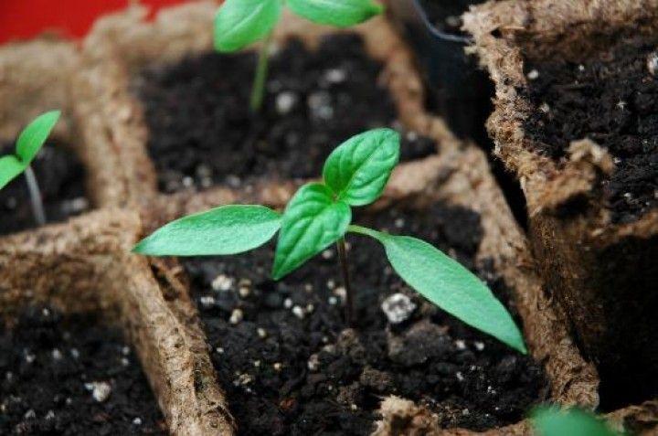 LA SEMINA E IL TRAPIANTO.   Molte piante si ottengono interrando i semi dentro semenzai, in una serra: le piante da aiuole estive, piante da fiori da vaso, ortaggi come i pomodori, la lattuga, il sedano, i cetrioli e le zucche. Le tecniche di semina... CONTINUA A LEGGERE SUL SITO: http://tuttosulgiardino.it/la-semina-e-il-trapianto/ (#giardinaggio #orto #semina #trapianto )