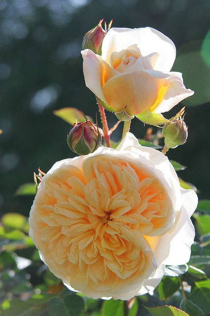 teasing georgia climbing rose~ david austin