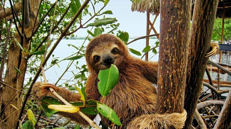 Tembel Hayvan :Pek çok videoda yolun ortasında hareket etmeye, karşıdan karşıya geçmeye mecali kalmamış halde gördüğümüz, öyle yavaş, öyle masum bu hayvanlar, adlarını gerçekten de hak ediyorlar. 1 dakika içinde en fazla yarım metre ilerleyebiliyorlar. Evleri Güney ve Orta Amerika'nın ağaç tepeleridir.