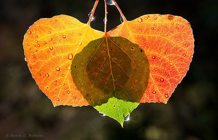 Autumn Aspen Leaves by David C. Schultz on 500px
