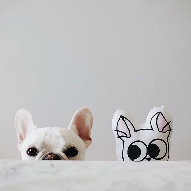 """""""I Feel like I'm being Watched"""", Theo, the suspicious French Bulldog, # theobonaparte on instagram"""