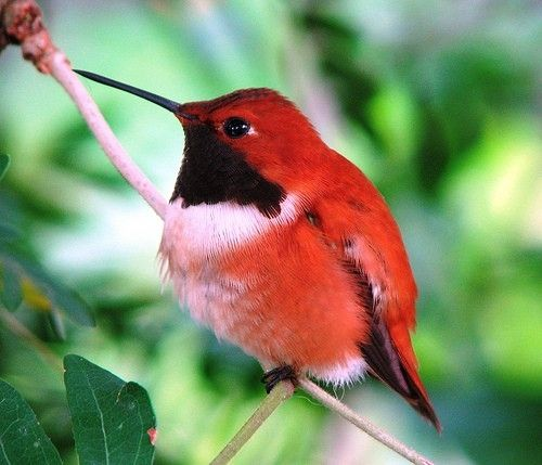 "Red Hummingbird - "" . . . they neither sow nor reap nor gather into barns; yet your heavenly Father feeds them. Are you not of more value than they?"""
