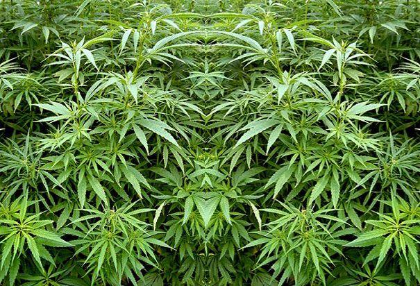 El Ministerio reconocerá el cannabis como sector agrícola