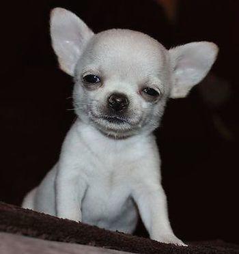 Me When I First Wake Up Chihuahua Chihuahua Dogs Chihuahua