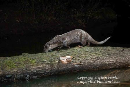 National Otter survey