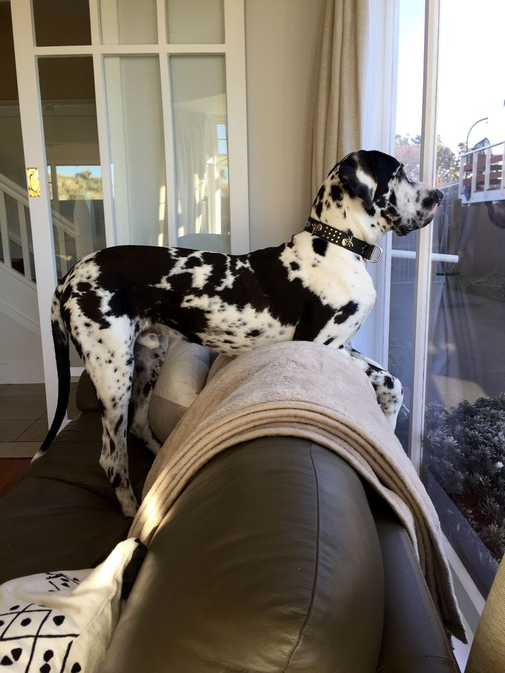 Marlow, Great Dane puppy