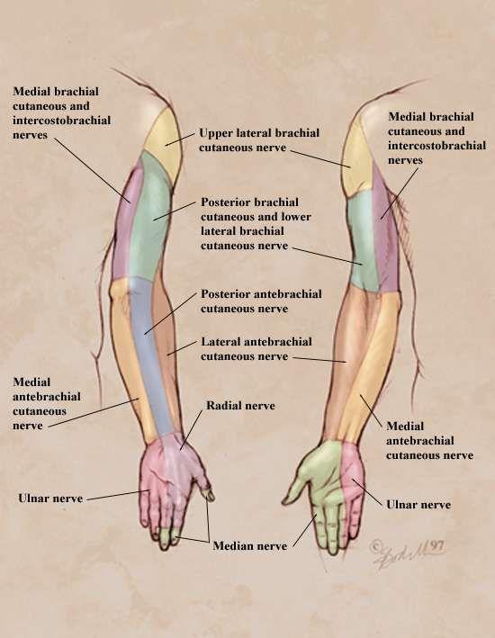 Upper limb peripheral nerve distribution-Love this diagram!