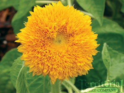 Sunflower-Teddy Bear (linked site sells all sorts of seeds)