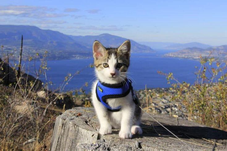 Choosing the best cat harness best cat harness cat