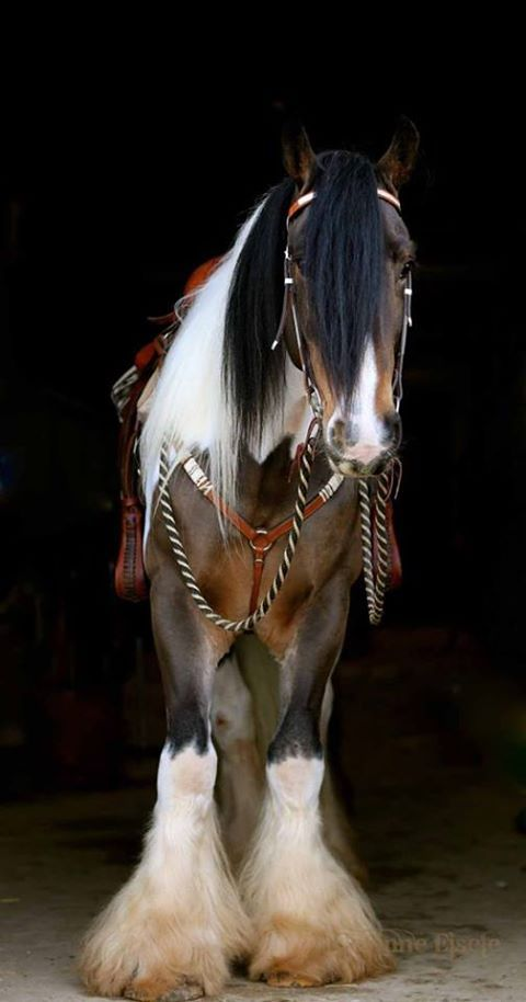 Oh wow... this horse is BEAUTIFUL...Gorgeous tr-colored horse. Looks like Irish Cob, Gypsy Vanner.
