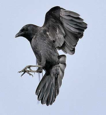 South Sound Critter Care rescues 100's of crows every year. Some of them are characters with very distinctive personalities.