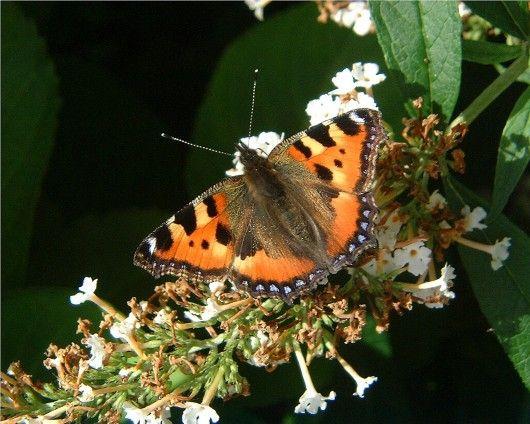 Afbeeldingsresultaat voor vlinders in nederland