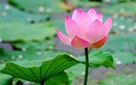 Schöne Lotus, rosa Blütenblätter, Teich, Blätter