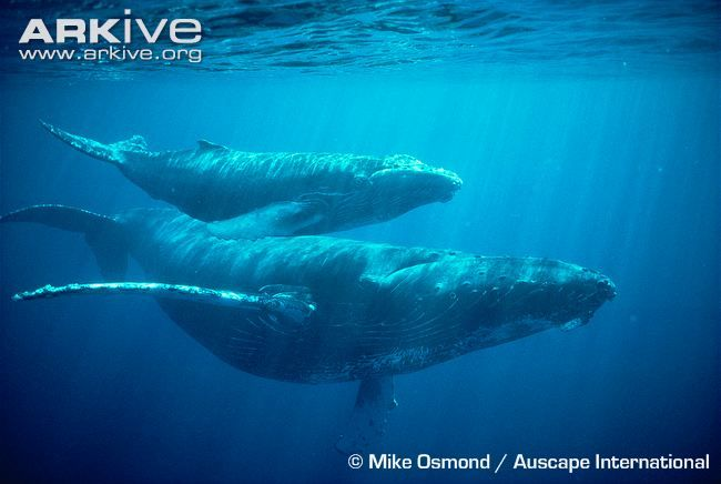 Humpback whale videos, photos and facts - Megaptera novaeangliae ...