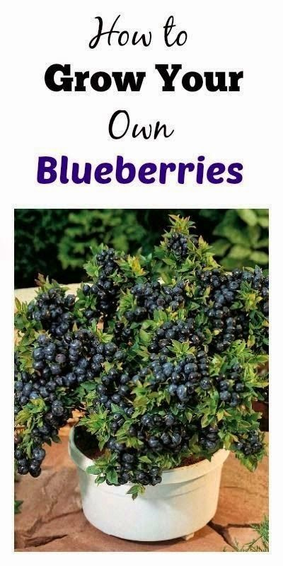 Grow your own Blueberries and Recipes!
