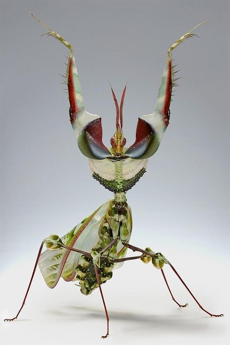 Resembling an exhibitionist mixed leaf salad, the Devil's Flower Mantis (Idolomantis diabolica) is the Lady Gaga of praying manti..!    Photo by Igor Siwanowicz