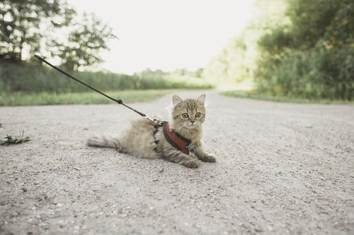 Pin By Cats Lover On Crazy Cats Cat Leash Best Cat Harness Cat Harness