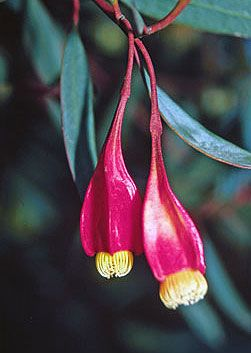 Eucalyptus forrestiana (Fuchsia Gum) - grows up to 5m high  3m wide.