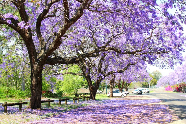 89 best images about Jacaranda trees on Pinterest | Sydney ...