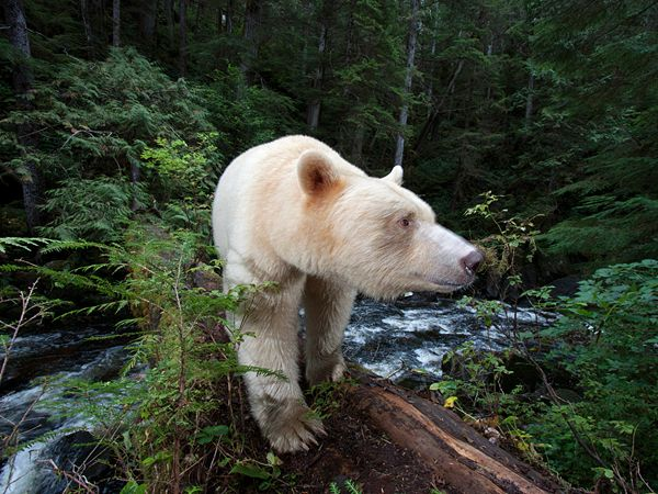 national geographic bear  | Picture of a bear in the Great Bear Rainforest, Princess Royal Island