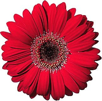 Red Gerbera-- really think this red/maroon color and navy are going to be my colors ! Orange is out