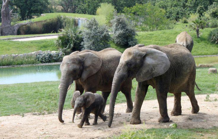 Événement rarissime, un éléphanteau (surnommé «Makeba») a vu le jour en captivité le 24 mars dernier, au zoo de Plaisance-du-Touch où il a fait sa première sortie publique cette semaine (France).