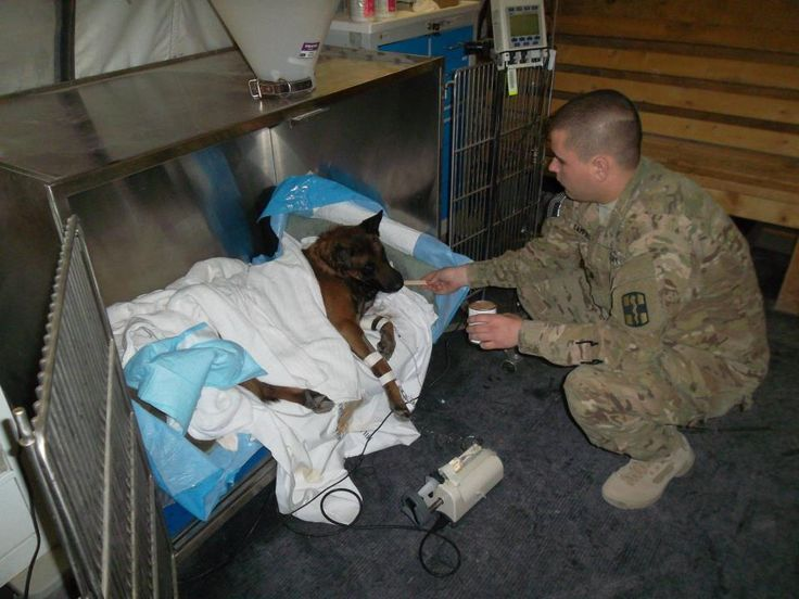 Kinetik K9    U.S. Army Spc. Anthony Campbell, 463rd Military Detachment Veterinary Services, veterinary technician, feeds Storm, a contractor patrol and explosives dog, while recovering from surgery. Storm is currently undergoing weekly rehabilitation with the physical therapists after becoming the first dog to have spinal surgery performed in this combat theater.      photo by Lt. Col. James T. Giles III, 463rd Medical Detachment Veterinary Services
