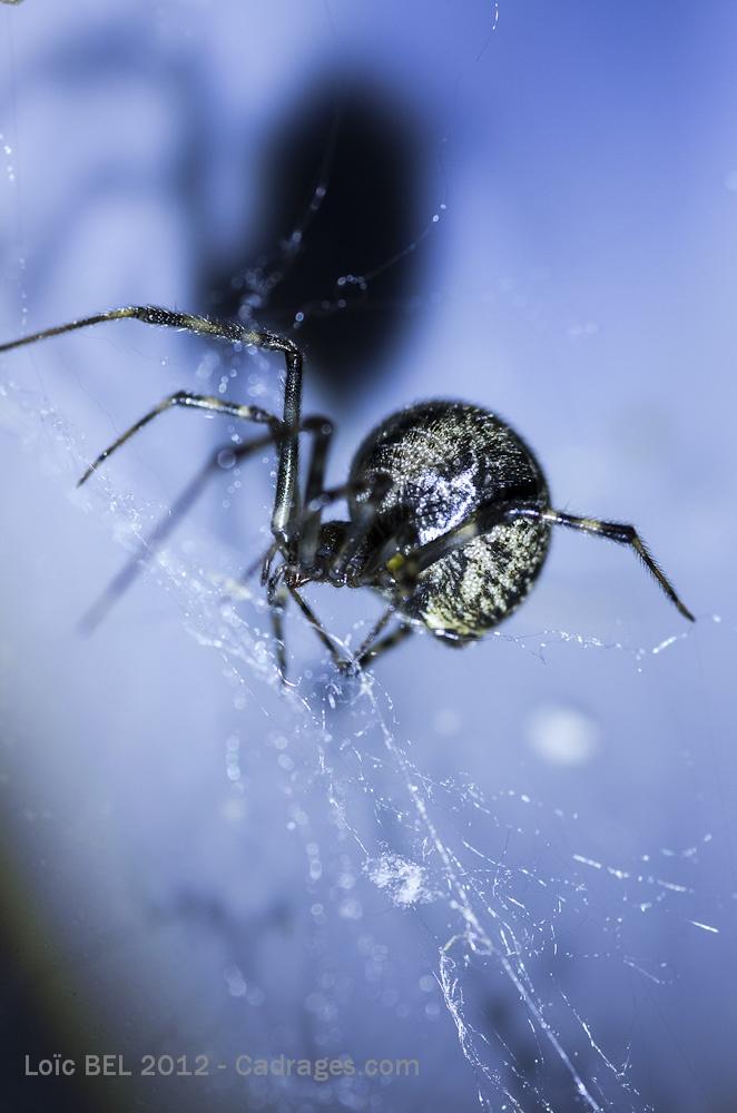 Araignée (épeire)