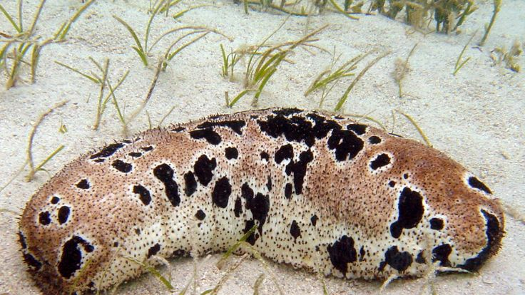 A good reason to stop eating sea cucumbers. For the record, I have eaten them at many banquets, and I hate them.  Why You Should Care That Sea Cucumbers Are Going Extinct