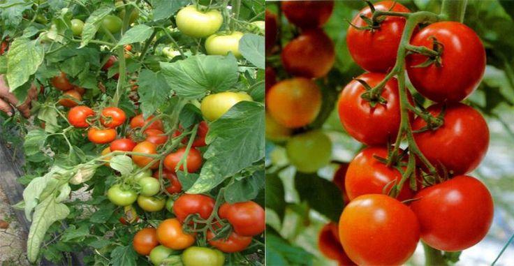 Pentru Rosii Mari Si Delicioase, Invata Sa Le Plantezi Corect - dr. Andrei Laslău