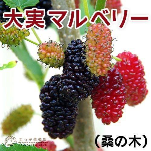 大実の桑の木で、たくさんの実をつける多果性品種です。栄養豊富で生食はもちろん、ジャムや果実酒、ヨーグルトに添えるなどデザートにもオススメです。マルベリー(桑の実)は、ジューシーで甘い果実が魅力ですが、日持ちしないので「育てた人だけが果実を楽しめる」といえるかもしれません。桑の実はビタミン豊富で、アントシアニンがブルーベリーよりはるかに多く、 眼の健康などに有効な健康果樹として注目されています。また、葉はハーブティとしても活用されているそうです。※2017年5月11日現在、実が色づいてきました。5月中旬以降お届けの場合、今期の実は終了している場合がございます。ご了承お願いいたします。※露地栽培の為、葉に斑点や傷みが出ていることがありますが、生育には影響ありません。ご了承お願いいたします。※落葉樹です。10月以降は落葉します。