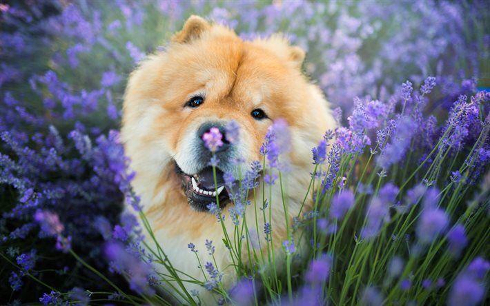 Herunterladen hintergrundbild chow-chow, hunde, лаванда, lustige tiere