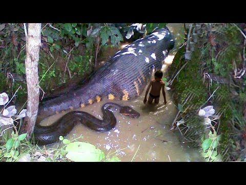 WORLD BIGGEST ANACONDA FOUND IN AMERICA'S AMAZON RIVER - YouTube