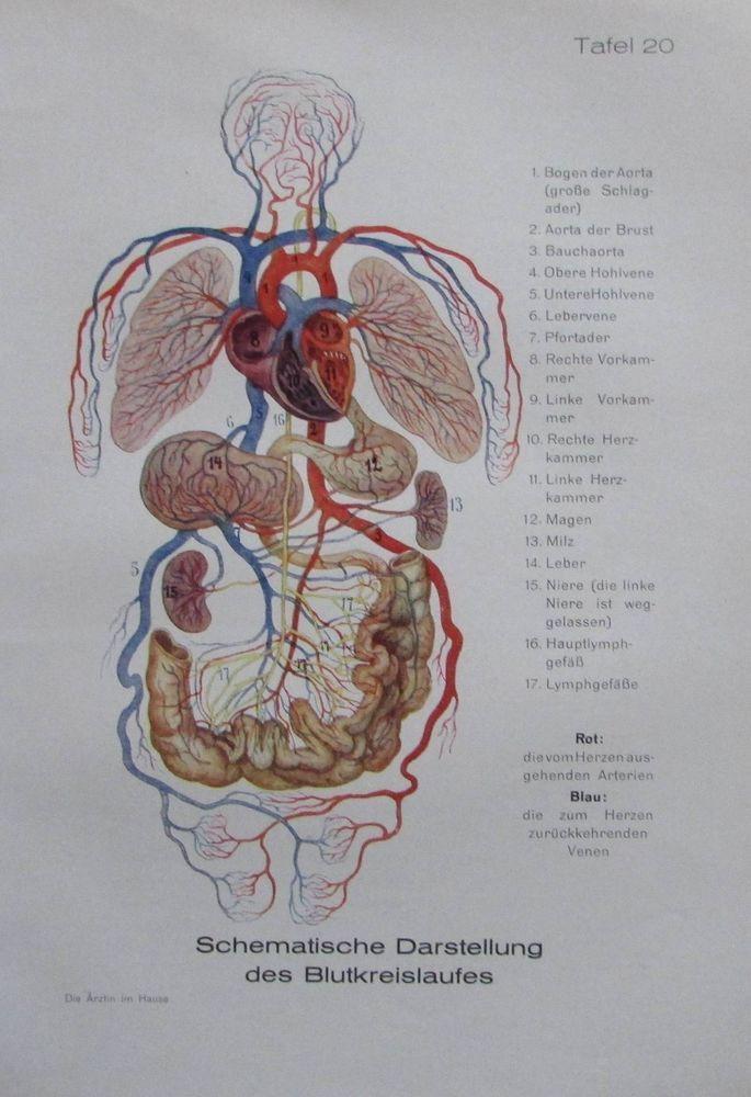 Blutkreislauf - Herz Schlagadern Blutvergiftung - 2 Bilder aus 1925 old print