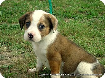 Waterbury, CT - American Bulldog/Labrador Retriever Mix. Meet Maggie~Easter pup2, a puppy for adoption. http://www.adoptapet.com/pet/18263751-waterbury-connecticut-american-bulldog-mix