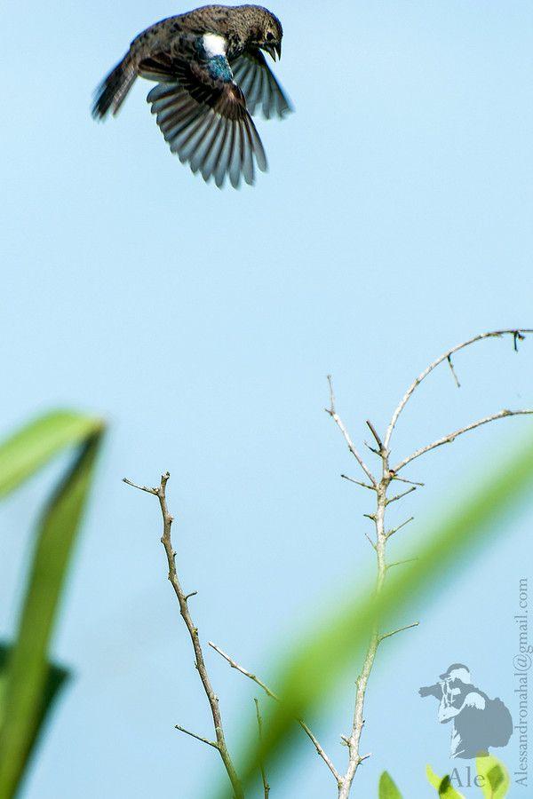 Tiziu (Volatinia jacarina) by Alessandro  Moura on 500px