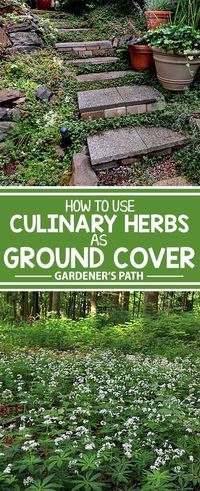 A number of culinary herbs make excellent groundcover, adding variety, texture, and beauty to the garden and sublime flavor to meals. Learn more about these versatile plants now at Gardener�s Path!