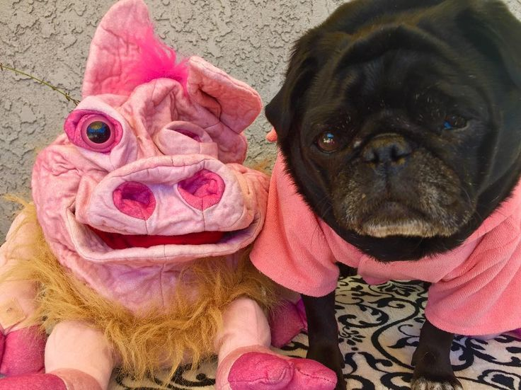 """I'm all piggie partied outs and ready for a long naps. Glad Borealis came to visit for """"National Pig Day"""" so we coulds catch up and share snackies recipes. I'll miss him and Aurora but they promised to visit mes whenever they cans. Hope everyones had goods days and goods nights sleeps! - Nebbie  #nationalpigday #oink  #nursenebbie #nebulathepug #nebbie #nebbiethepug #nebulathepotbellypug #potbellypug #seniorpugsofinstagram #seniorpugsrule #rescuepugsofinstagram  #rescuepug #rescuepugsrock…"""