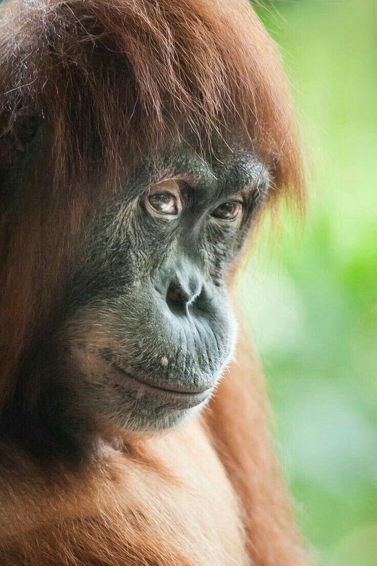 """An Orangutan.  """"Orangutans"""""""