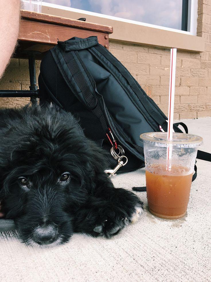 Black Labradoodle Puppy Coffee shop hangs