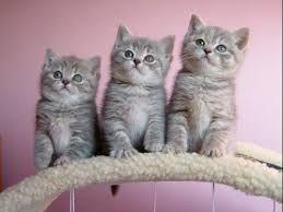 Resultado de imagen para gato britanico de pelo corto