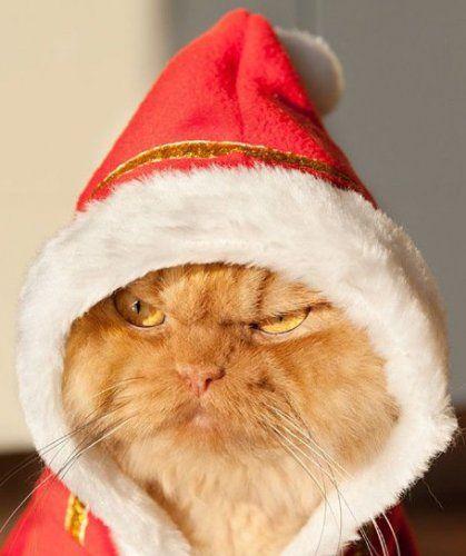 Cats in caps of Santa Claus (10 photos)