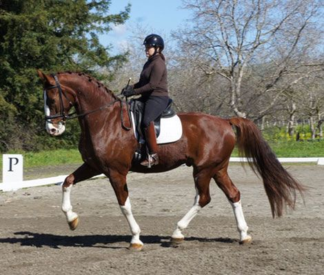Chestnut Dutch Harness Horse Gelding, FLASHY CHESTNUT W 4 WHITE SOCKS in California. DreamHorse.com is the premier horse classifieds site with horses for sale, lease, adoption, and auction, breeding stallions, and more.