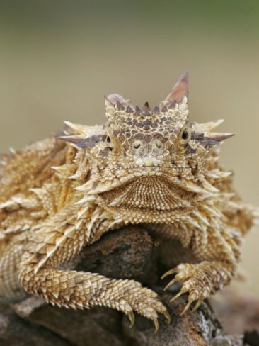 Horned Lizard or Toad Rests on Tree Stump, Cozad Ranch, Linn, Texas, USA Photographic Print by Arthur Morris at Art.com
