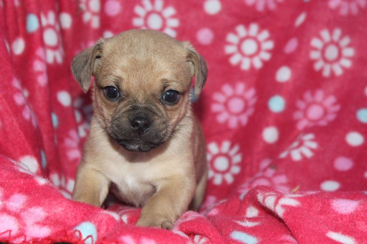 Jug Puppy - here is a 6 week old Jug puppy at http://www.cutepuppiesforsaleinpa.com/jug-puppies-for-sale-in-pa