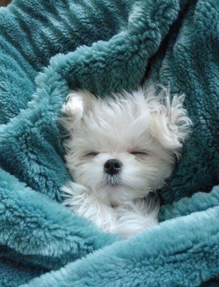 00832 Malteser Welpenhund Schlafbild Poster Drucken Tiere Bunter Haufen Tiere Hundebabys Niedliche Tierbabys