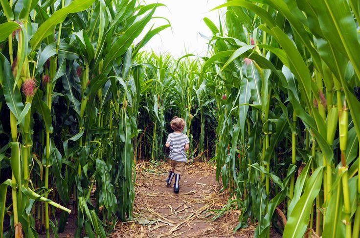 My Sunday Photo - Maize Maze