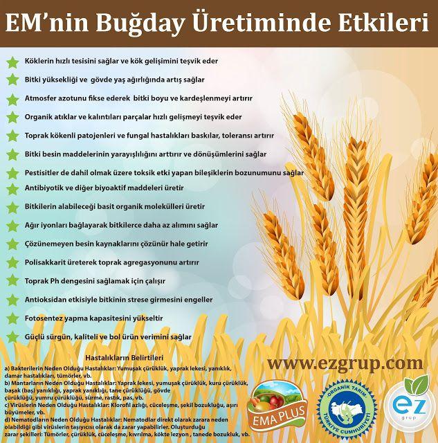 Etkin Mikroorganizmalar: Buğday Üretiminde Etkin Mikroorganizma Kullanımı (...