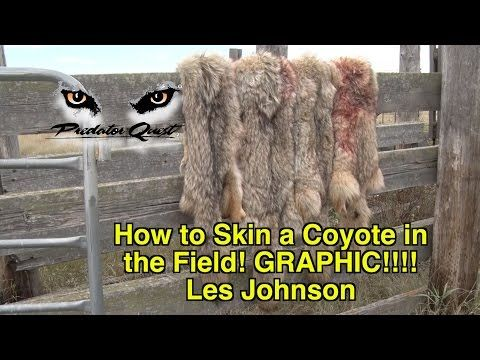 How to Skin a Coyote in the Field! GRAPHIC!!!! - Les Johnson - YouTube